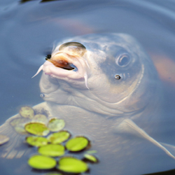 Vijver vis